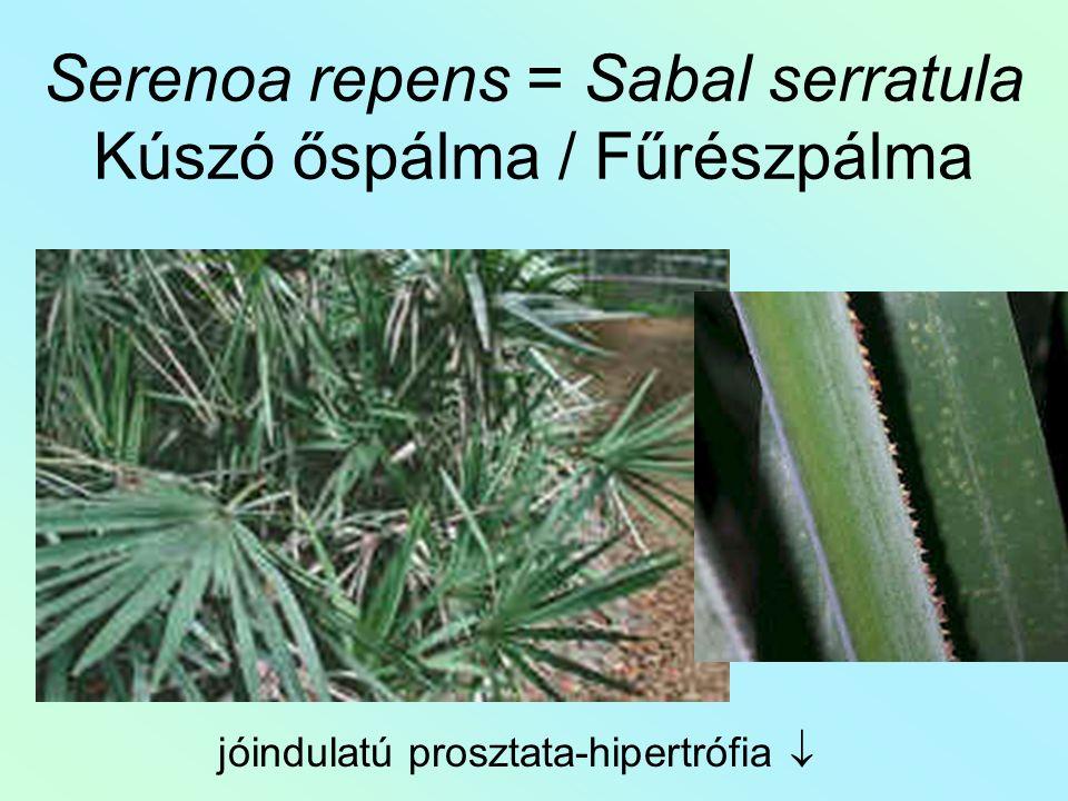 Serenoa repens = Sabal serratula Kúszó őspálma / Fűrészpálma jóindulatú prosztata-hipertrófia 