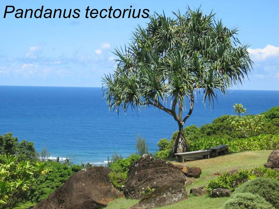 Pandanus tectorius