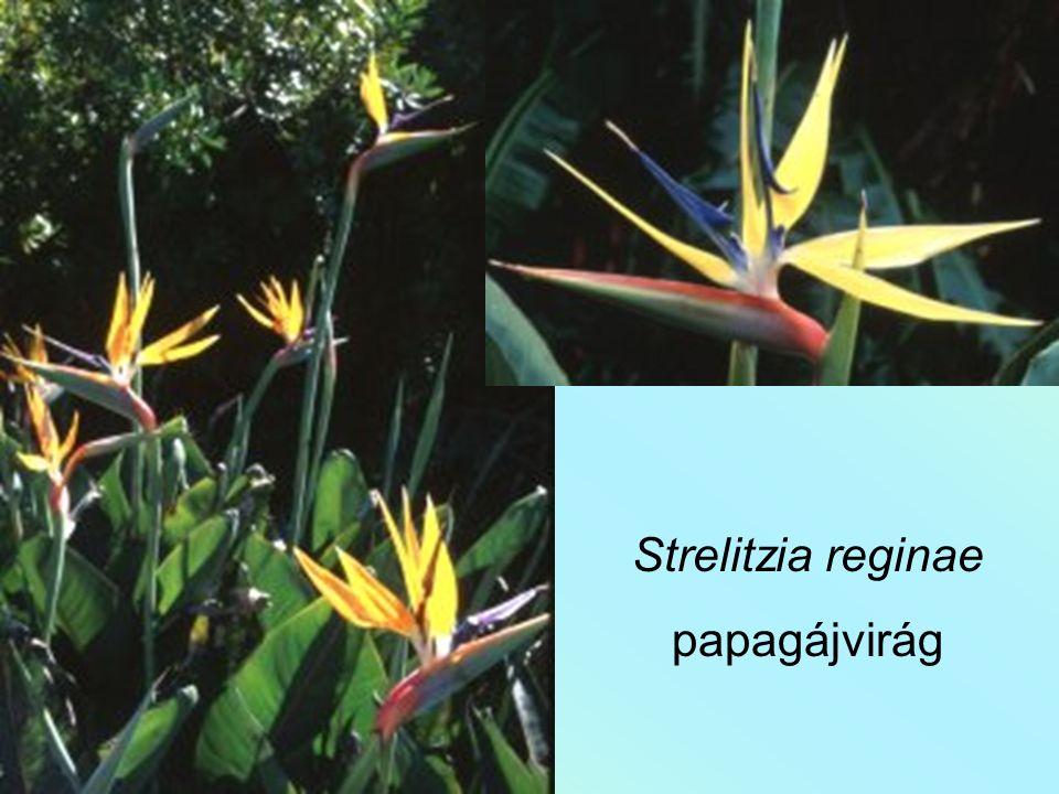 Ravenala madagascariensis utazók fája
