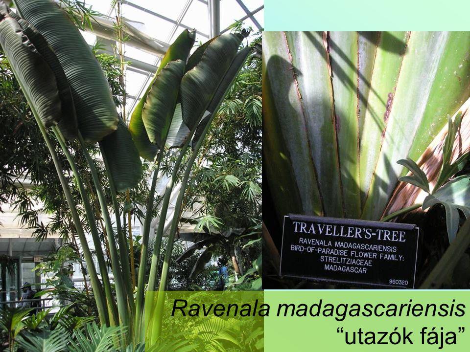Cocos nucifera - kókuszpálma Kókuszdió: Mezokarpium - rostanyag Mag endospermiuma: kopra - zsiradék kókusztej - tápszerek, édesipari termékek
