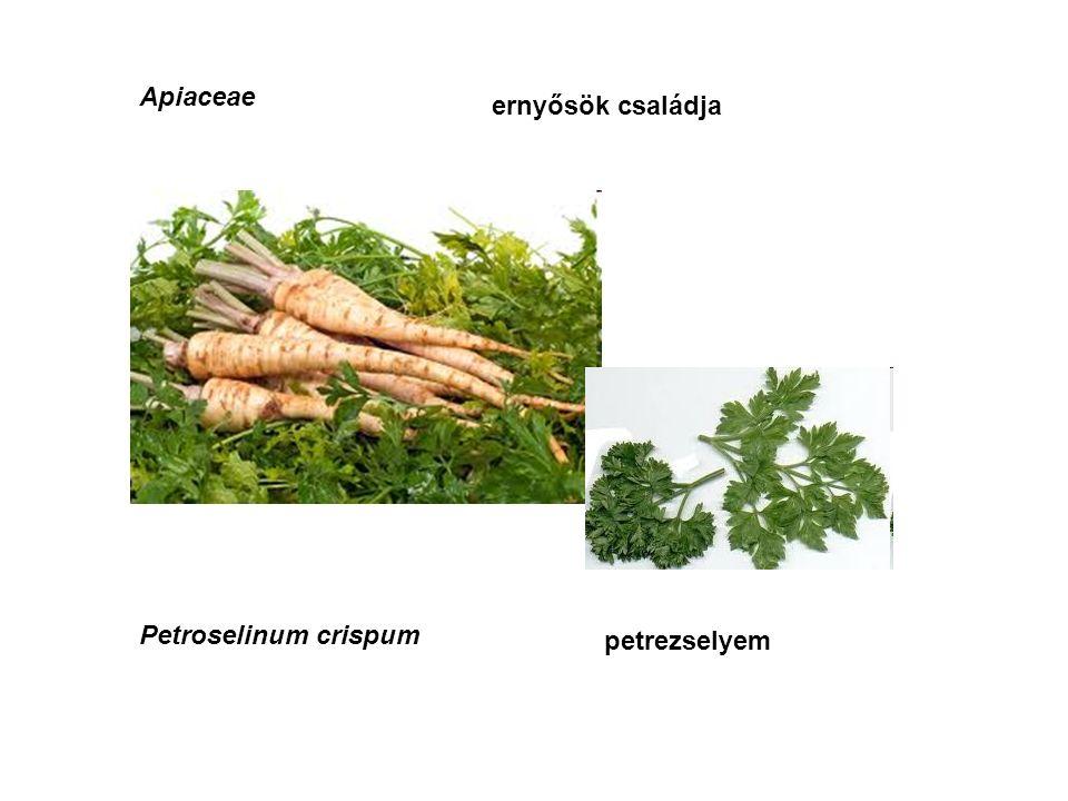 Apiaceae ernyősök családja Petroselinum crispum petrezselyem