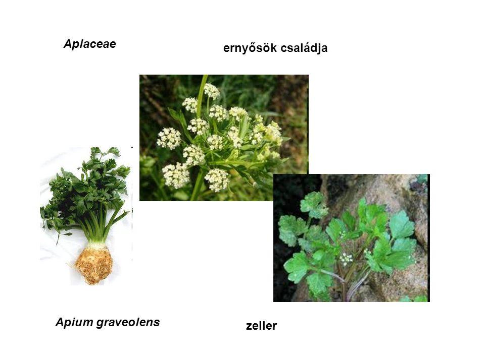 Apiaceae ernyősök családja Apium graveolens zeller