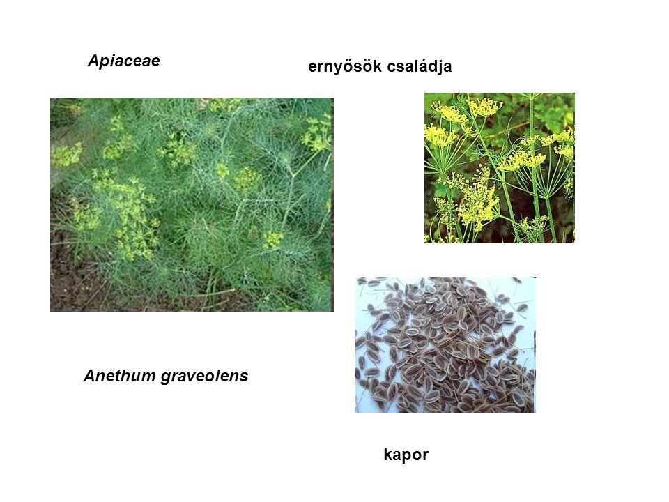 Apiaceae ernyősök családja Anethum graveolens kapor