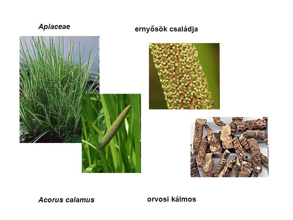 Apiaceae ernyősök családja Acorus calamus orvosi kálmos