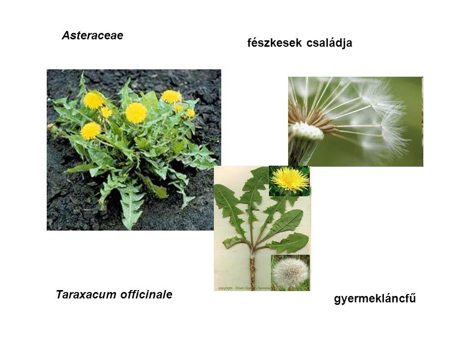 Asteraceae fészkesek családja Taraxacum officinale gyermekláncfű