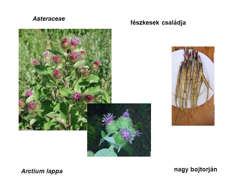 Asteraceae fészkesek családja Arctium lappa nagy bojtorján