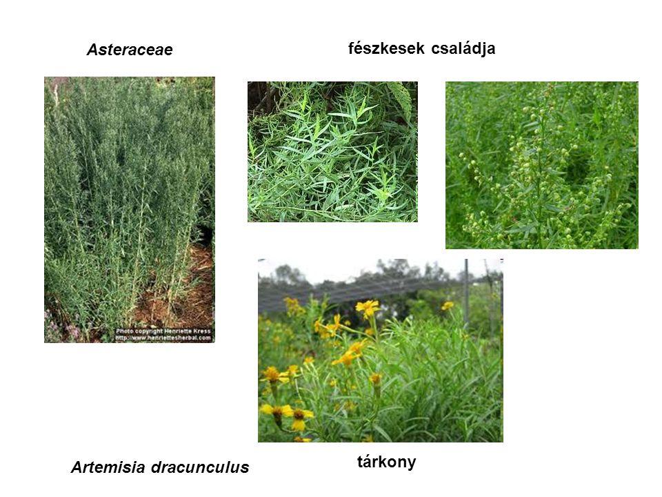 Asteraceae fészkesek családja Artemisia dracunculus tárkony