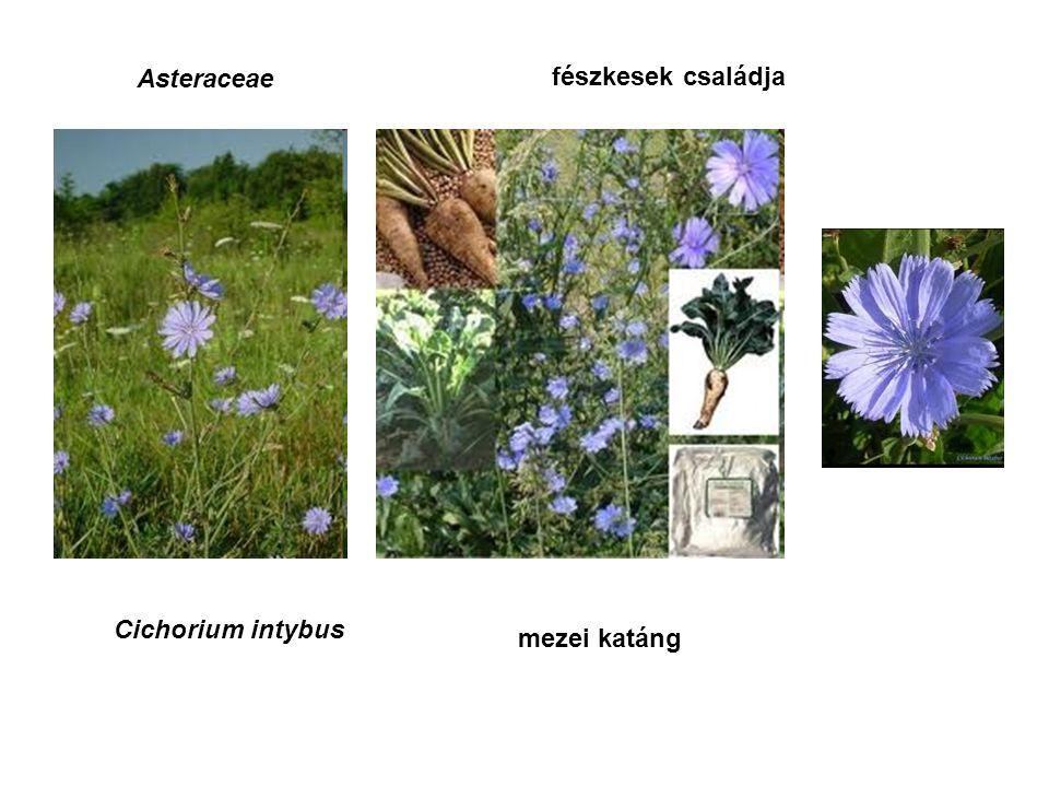 Asteraceae fészkesek családja Cichorium intybus mezei katáng
