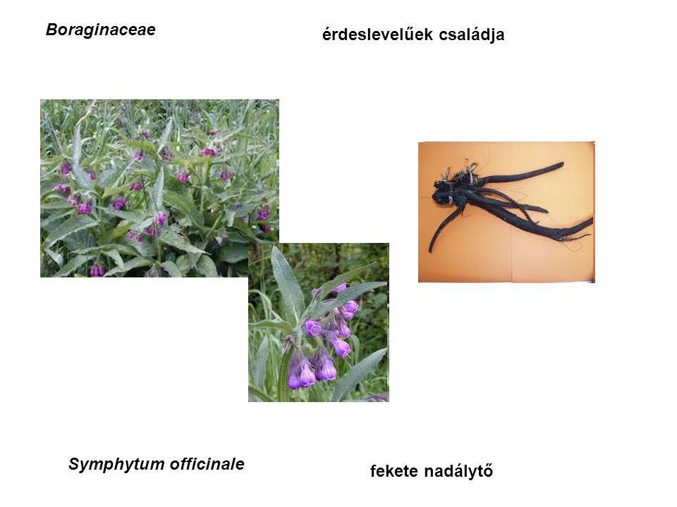 Boraginaceae érdeslevelűek családja Symphytum officinale fekete nadálytő