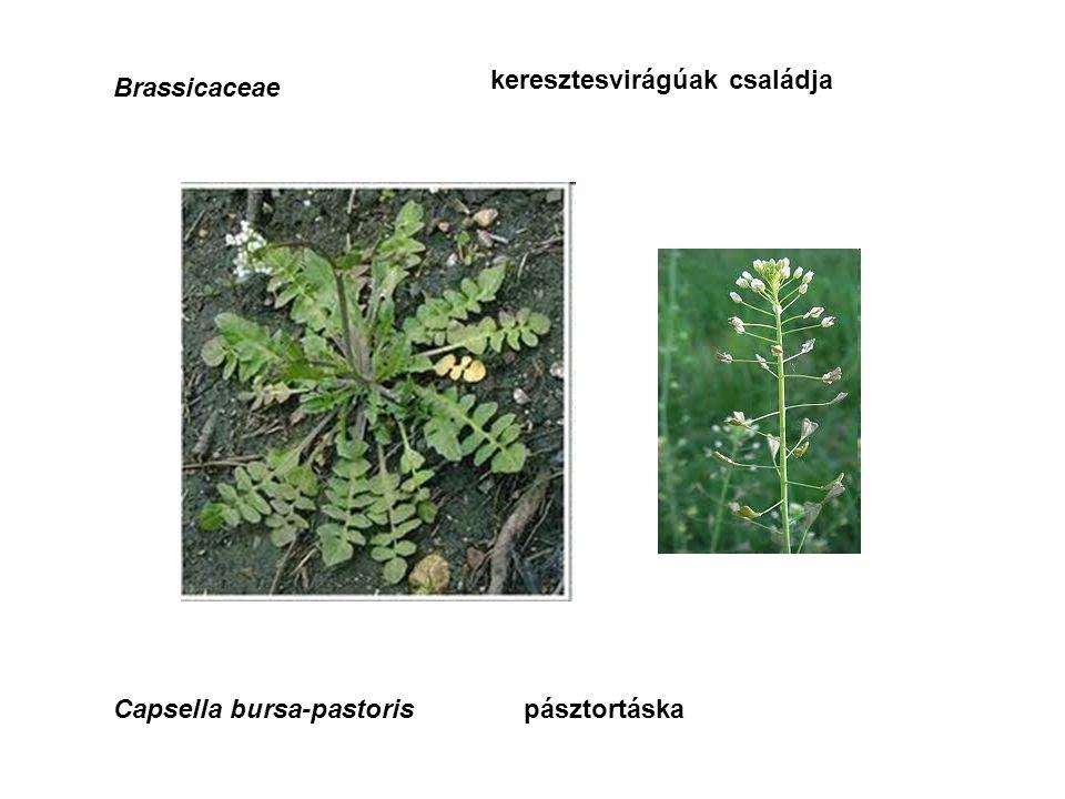 Brassicaceae keresztesvirágúak családja Capsella bursa-pastorispásztortáska