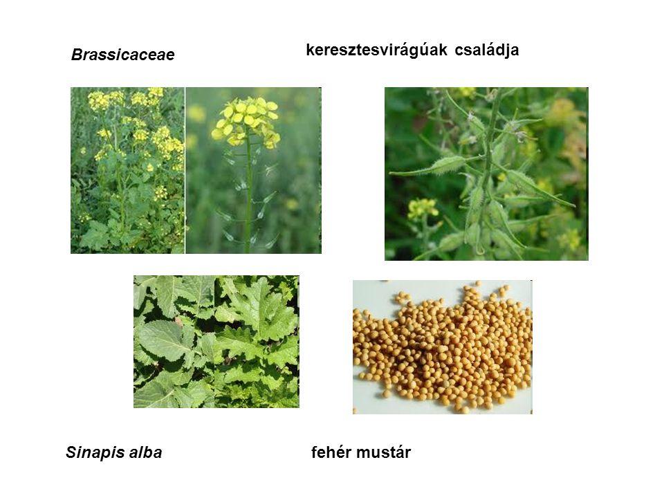 Brassicaceae keresztesvirágúak családja Sinapis albafehér mustár