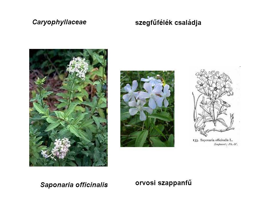 Caryophyllaceae szegfűfélék családja Saponaria officinalis orvosi szappanfű
