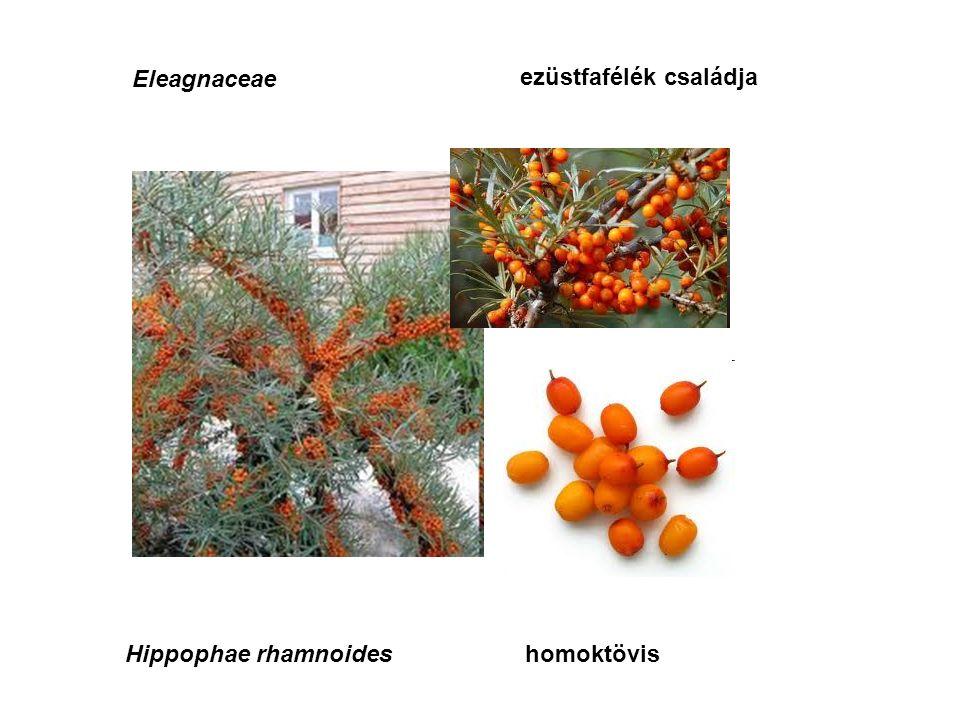 Eleagnaceae ezüstfafélék családja Hippophae rhamnoideshomoktövis