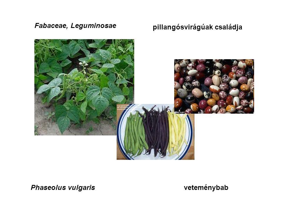 Fabaceae, Leguminosae pillangósvirágúak családja Phaseolus vulgarisveteménybab