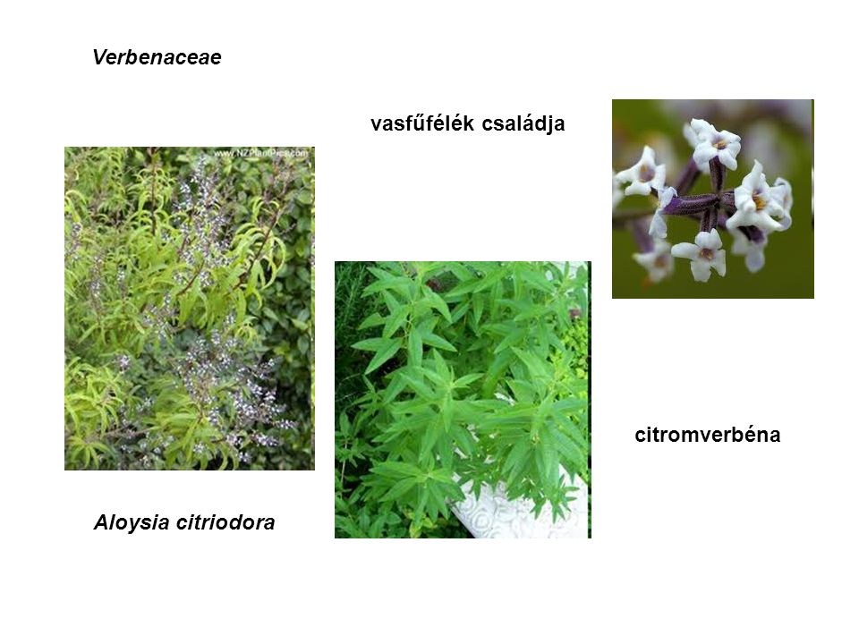 Verbenaceae vasfűfélék családja Aloysia citriodora citromverbéna
