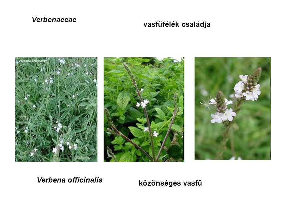 Violaceae ibolyafélék családja Viola arvensis, V. tricolor mezei árvácska háromszínű árvácska