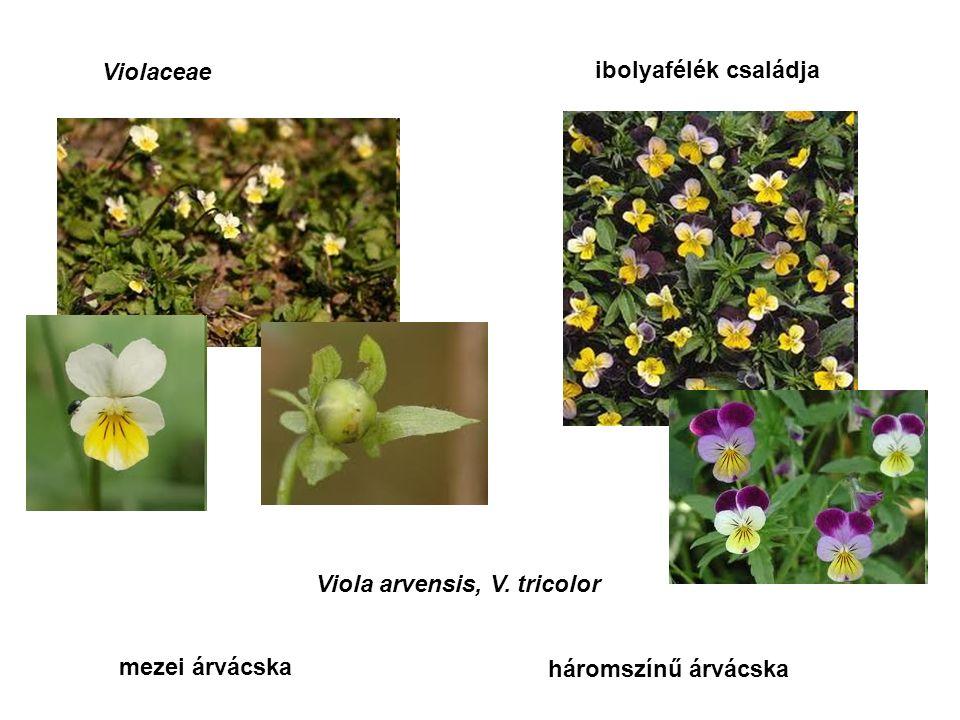 Clavicipitaceae varjúkörömfélék családja Claviceps purpurea anyarozs