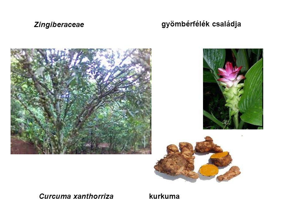 Zingiberaceae gyömbérfélék családja Zingiber officinale gyömbér