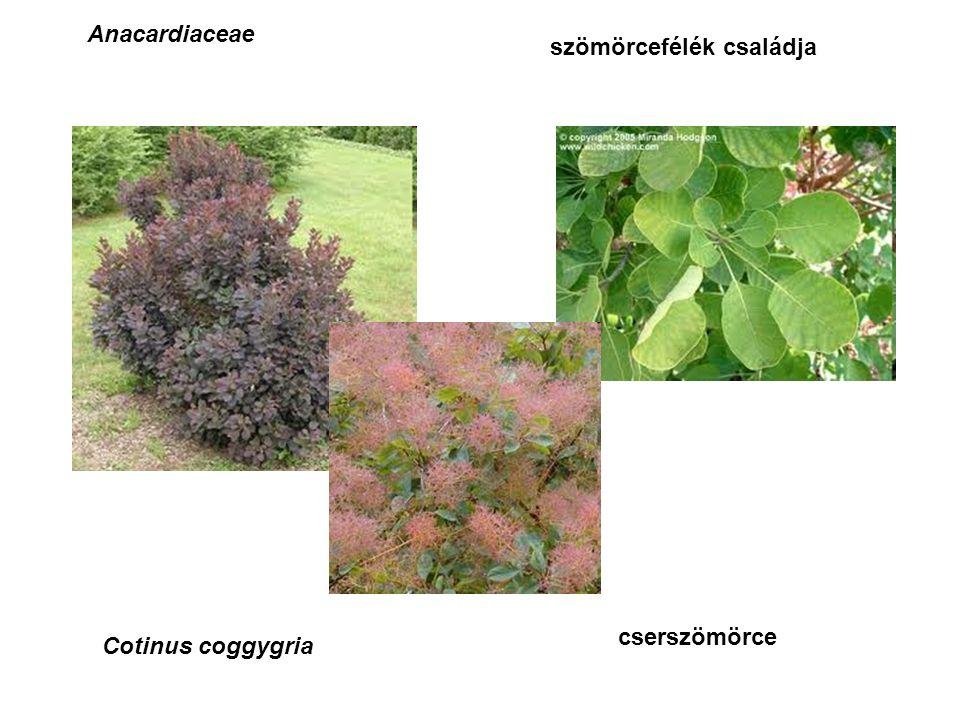 szömörcefélék családja Anacardiaceae Cotinus coggygria cserszömörce