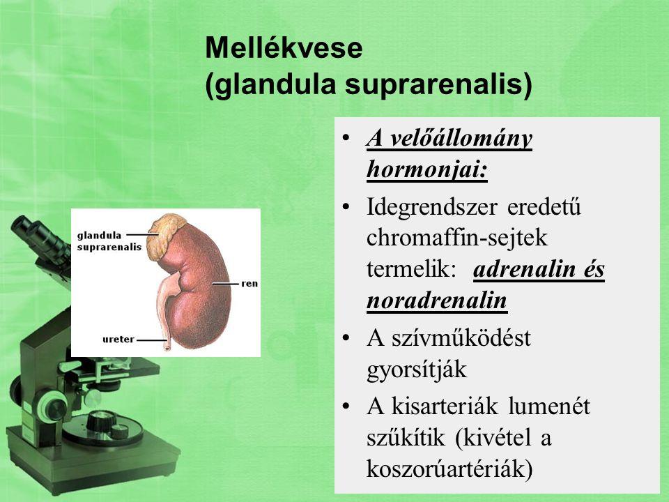 Mellékvese (glandula suprarenalis) A velőállomány hormonjai: Idegrendszer eredetű chromaffin-sejtek termelik: adrenalin és noradrenalin A szívműködést