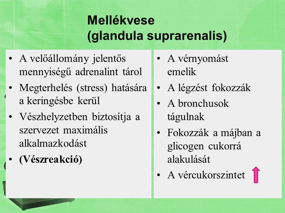 Mellékvese (glandula suprarenalis) A velőállomány jelentős mennyiségű adrenalint tárol Megterhelés (stress) hatására a keringésbe kerül Vészhelyzetben
