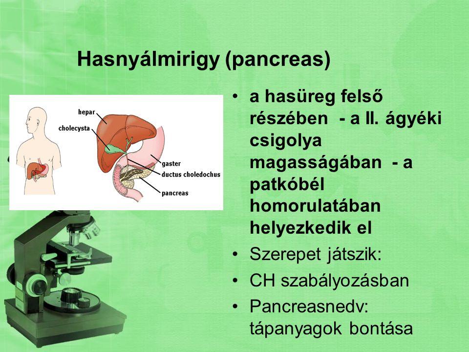Hasnyálmirigy (pancreas) a hasüreg felső részében - a II. ágyéki csigolya magasságában - a patkóbél homorulatában helyezkedik el Szerepet játszik: CH