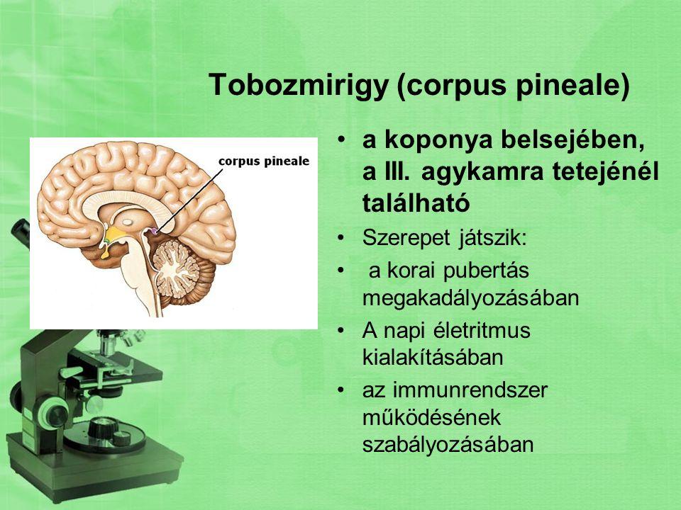 Tobozmirigy (corpus pineale) a koponya belsejében, a III. agykamra tetejénél található Szerepet játszik: a korai pubertás megakadályozásában A napi él