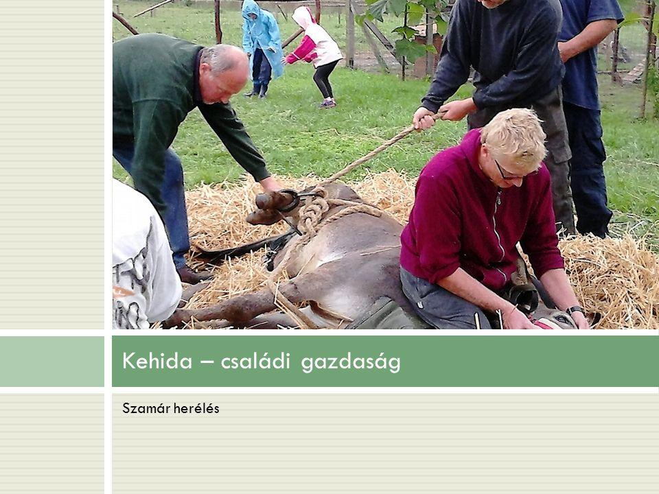 Kehida – családi gazdaság Szamár herélés