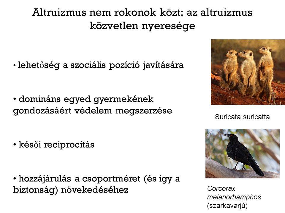 Altruizmus nem rokonok közt: az altruizmus közvetlen nyeresége Suricata suricatta lehet ő ség a szociális pozíció javítására domináns egyed gyermekéne