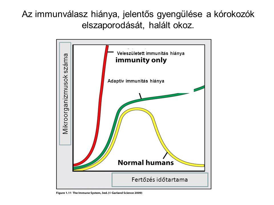 Adaptív immunitás hiánya Veleszületett immunitás hiánya Az immunválasz hiánya, jelentős gyengülése a kórokozók elszaporodását, halált okoz.