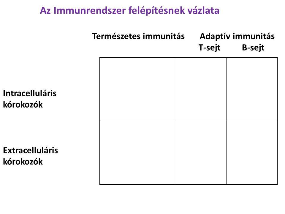 Természetes immunitás Adaptív immunitás T-sejt B-sejt Intracelluláris kórokozók Extracelluláris kórokozók Az Immunrendszer felépítésnek vázlata
