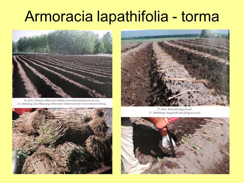 Armoracia lapathifolia - torma