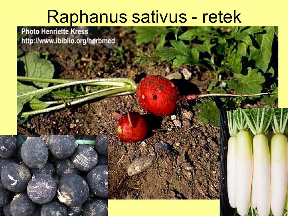 Raphanus sativus - retek