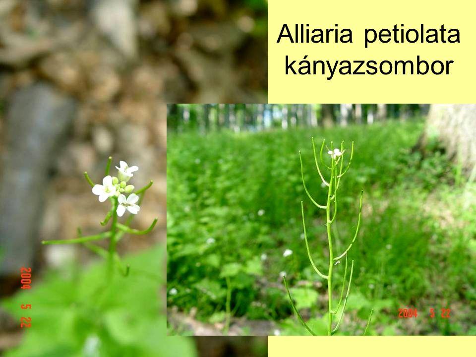 Alliaria petiolata kányazsombor
