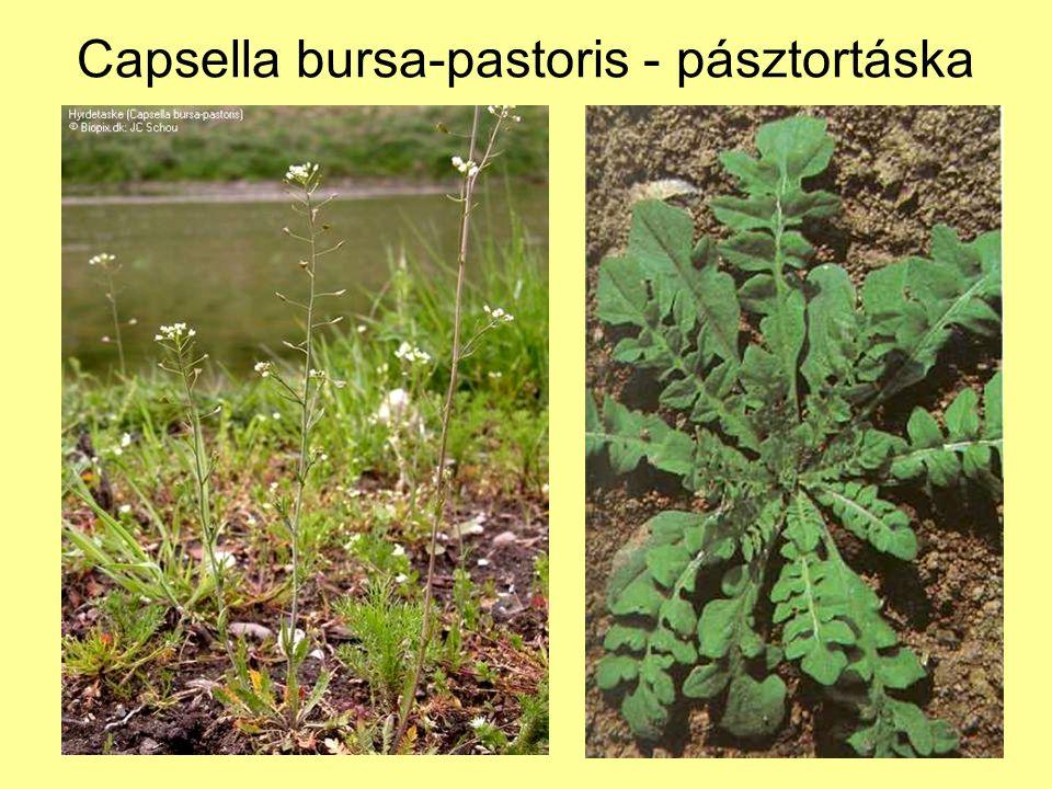 Capsella bursa-pastoris - pásztortáska