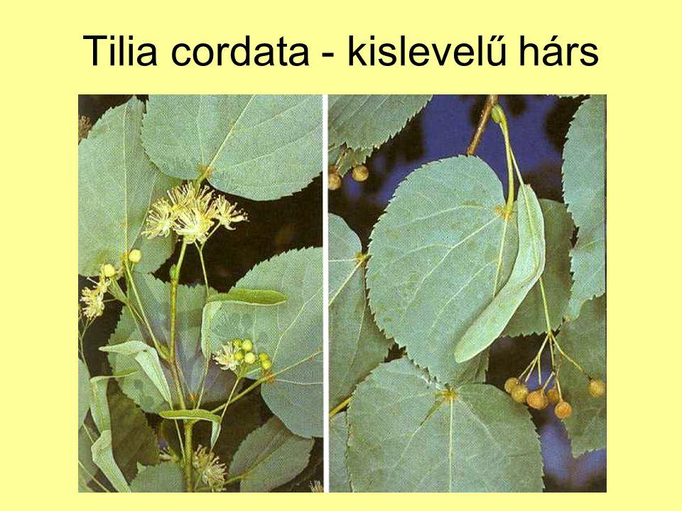Tilia cordata - kislevelű hárs