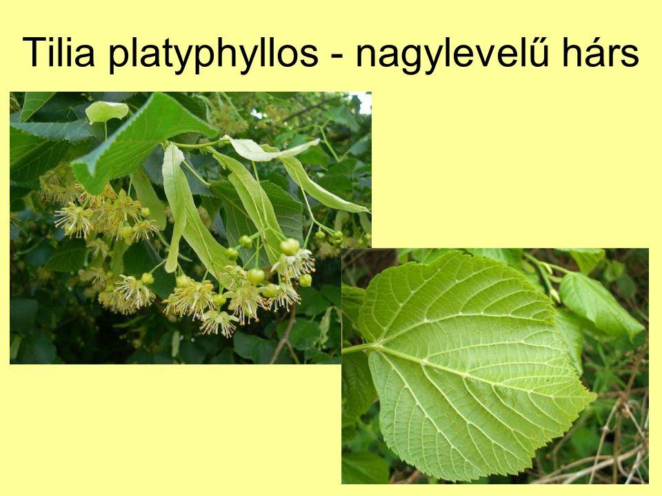 Tilia platyphyllos - nagylevelű hárs