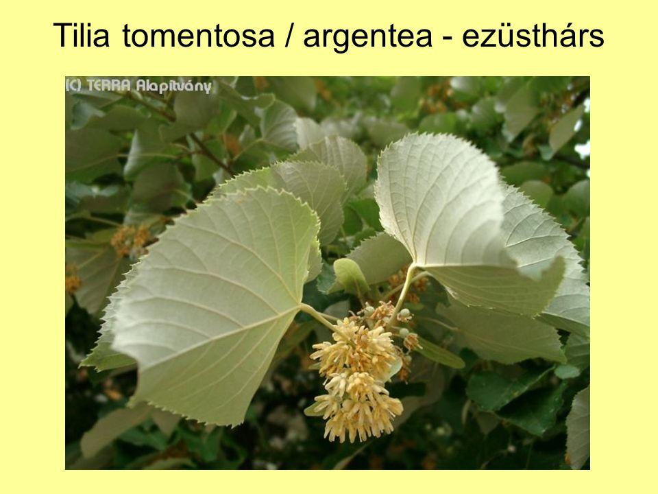 Tilia tomentosa / argentea - ezüsthárs
