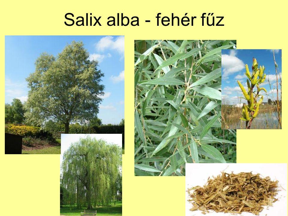 Salix alba - fehér fűz