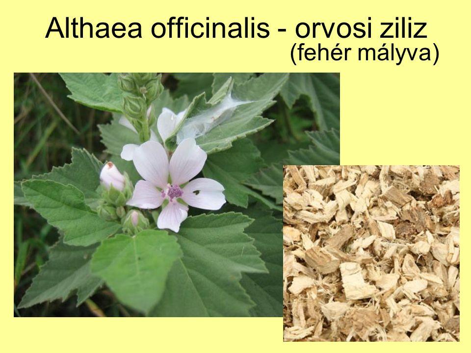 Althaea officinalis - orvosi ziliz (fehér mályva)