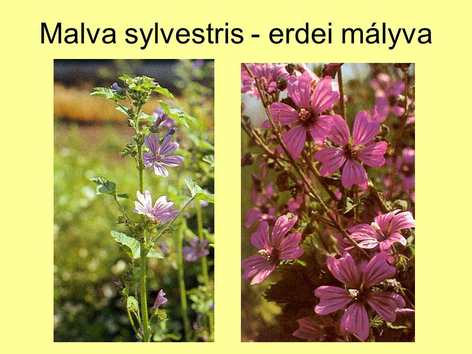 Malva sylvestris - erdei mályva