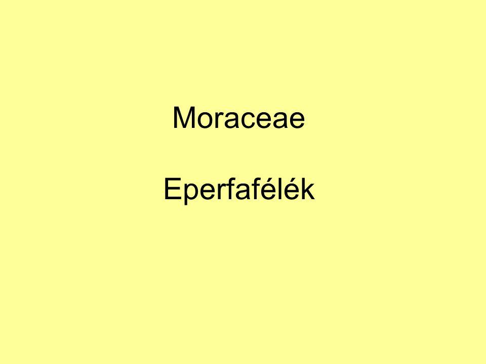 Moraceae Eperfafélék