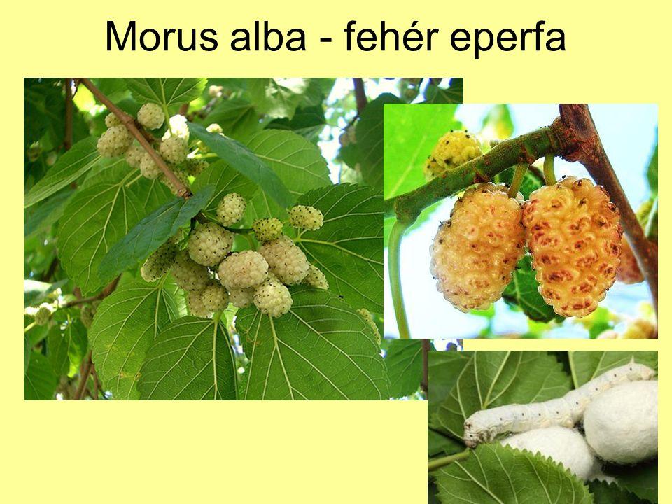 Morus alba - fehér eperfa