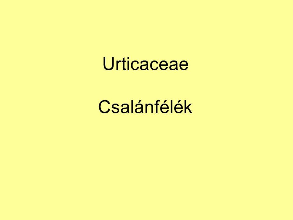 Urticaceae Csalánfélék