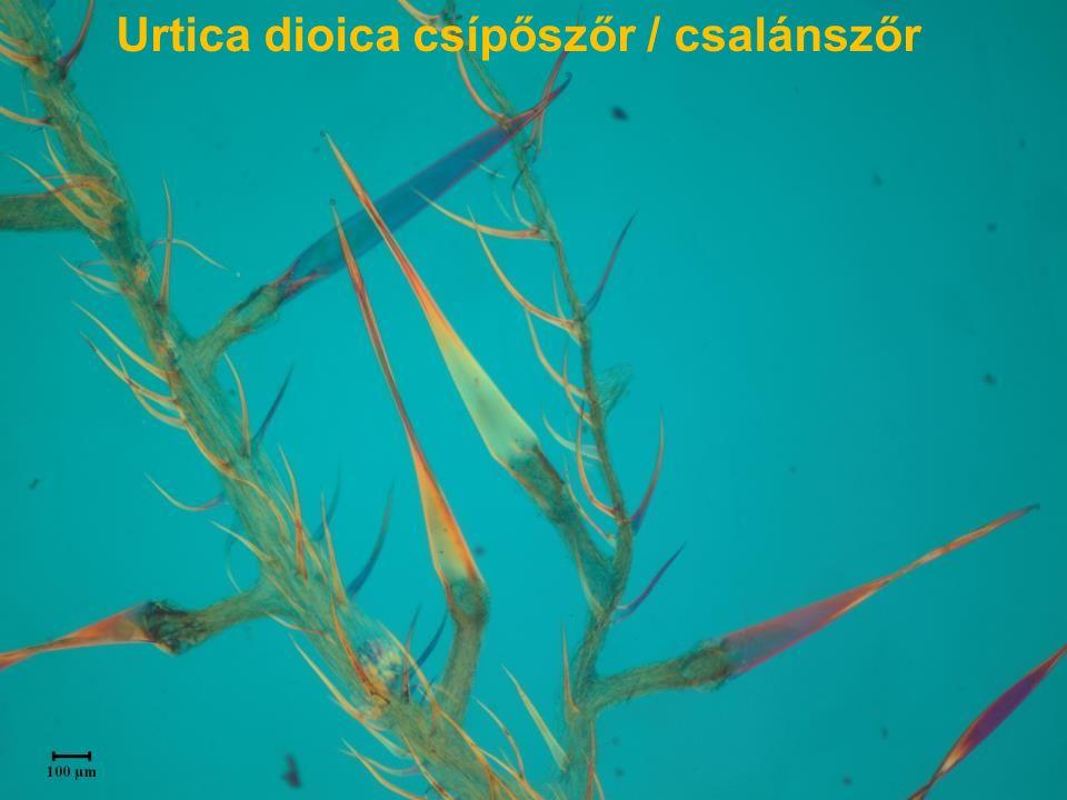 Urtica dioica csípőszőr / csalánszőr