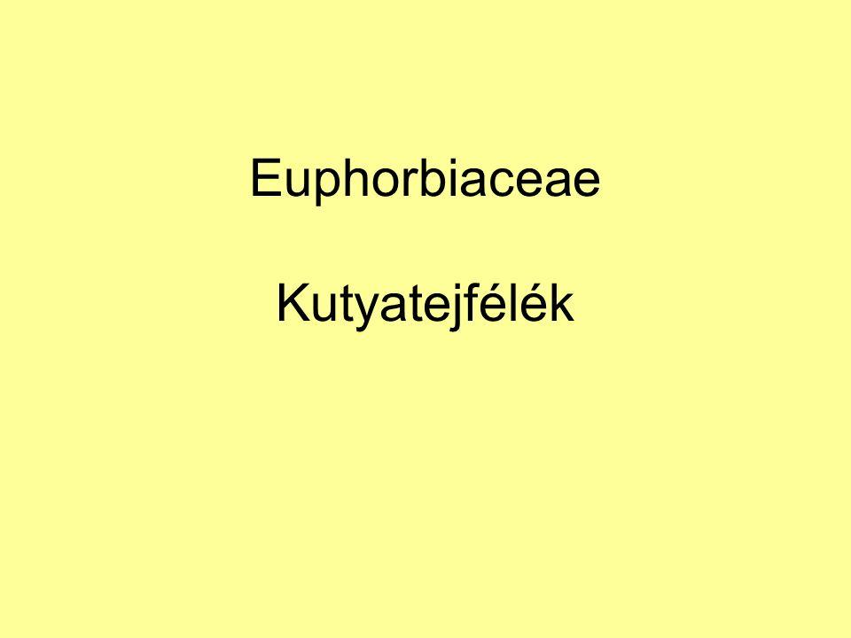 Euphorbiaceae Kutyatejfélék