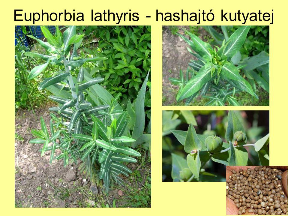 Euphorbia lathyris - hashajtó kutyatej