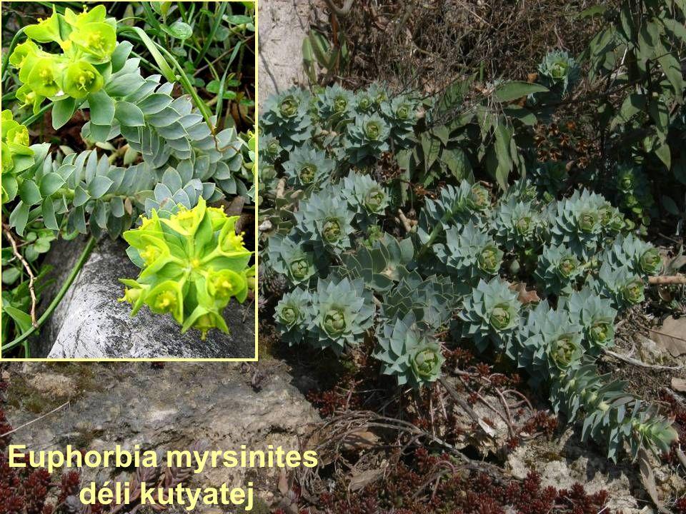 Euphorbia myrsinites déli kutyatej