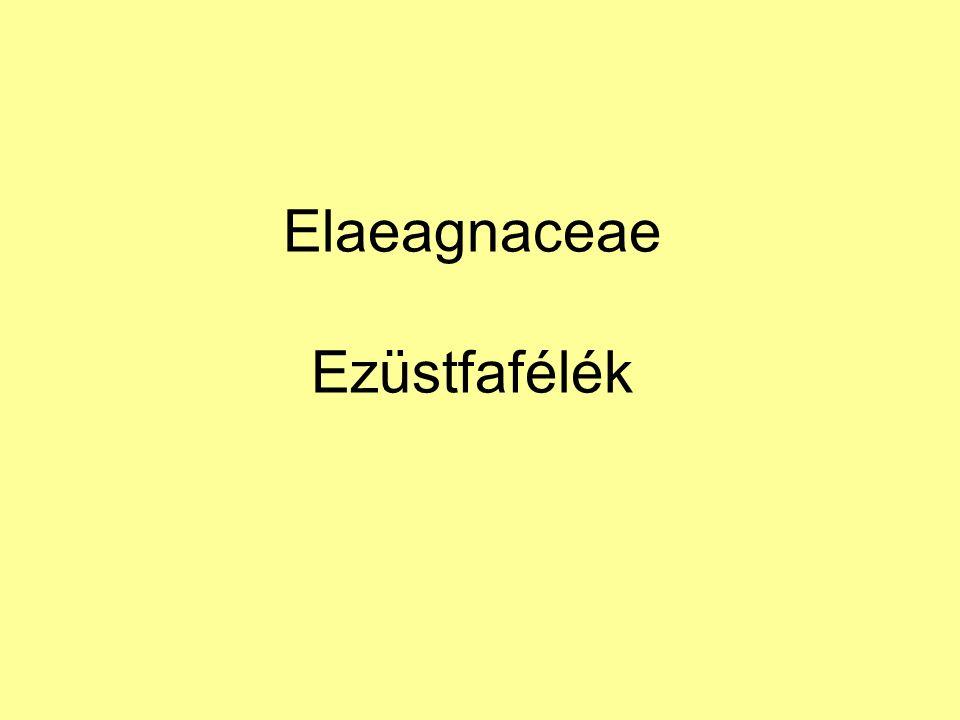 Elaeagnaceae Ezüstfafélék