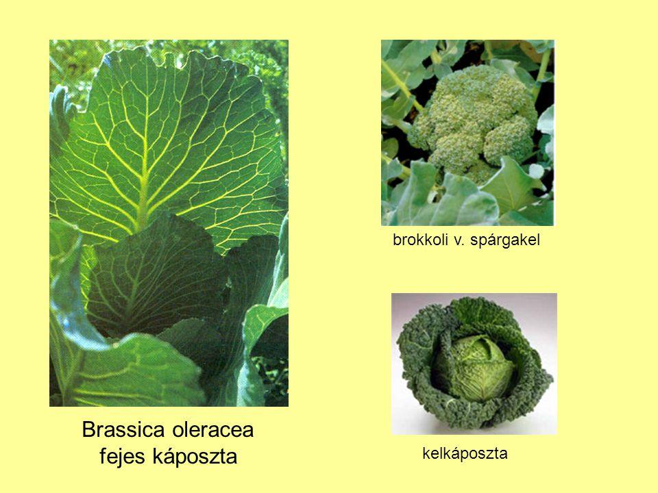 Brassica oleracea fejes káposzta brokkoli v. spárgakel kelkáposzta